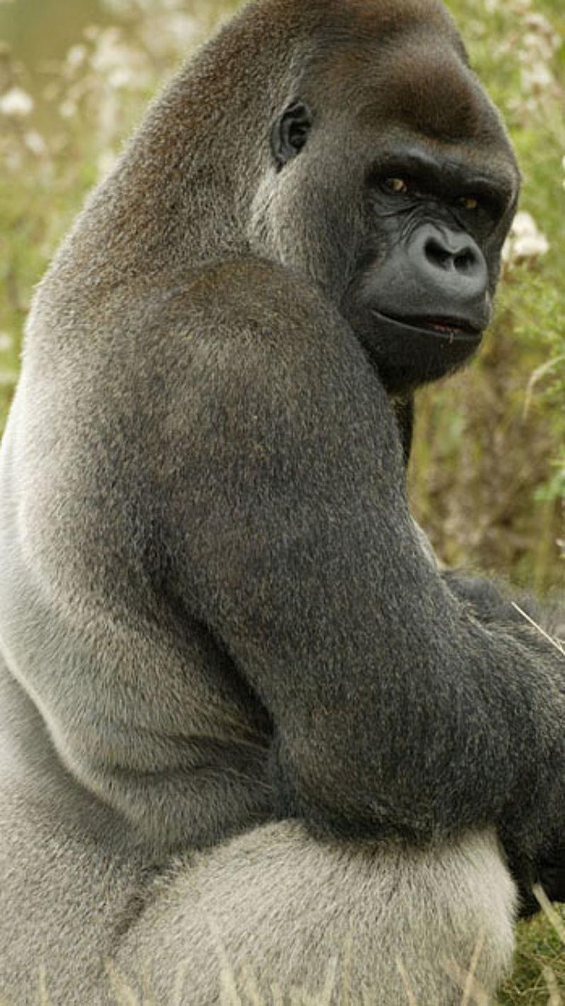 Wwf Gorilla