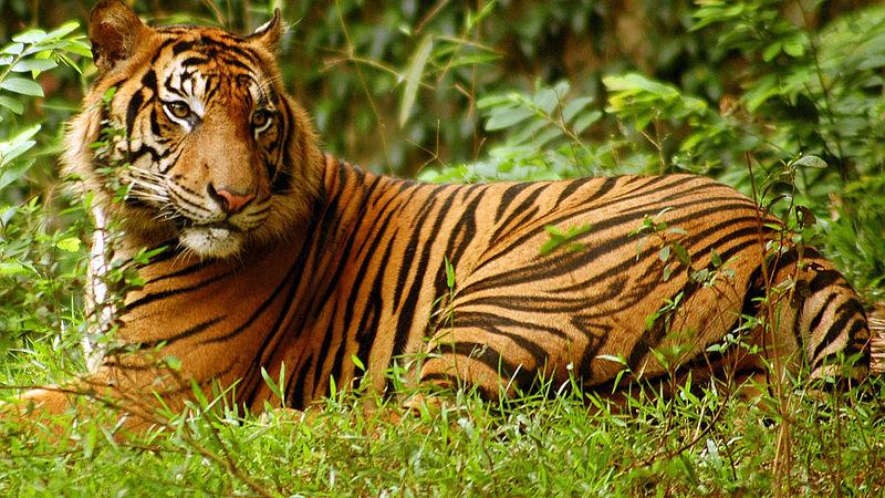 steckbriefe tiger wwf junior