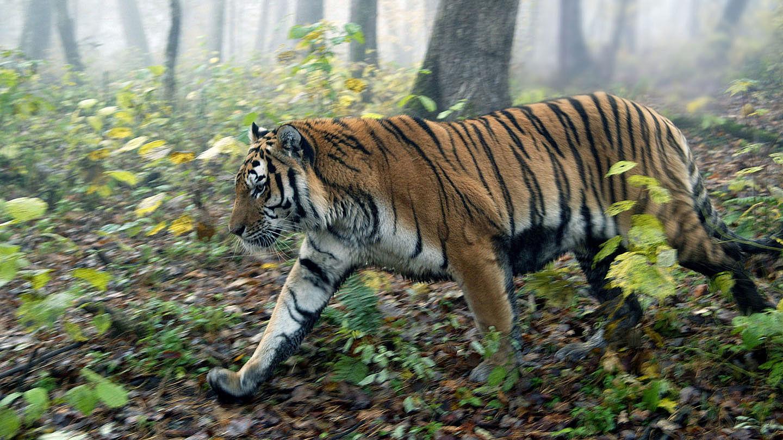 Steckbrief Tiger